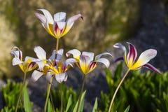 Wodnej lelui tulipany Zdjęcia Royalty Free