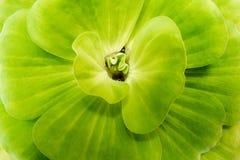 Wodnej sałaty świeży i zielony liść fotografia royalty free