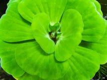Wodnej sałaty świeży i zielony liść obraz royalty free