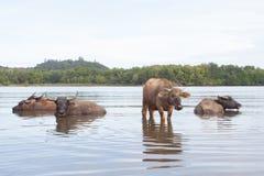 WODNI bizony KĄPAĆ SIĘ W rzece Zdjęcia Stock
