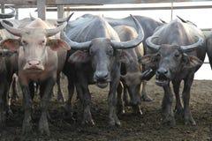 Wodni bizony w Tajlandia Obrazy Stock