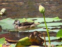 Wodni ptaki zdjęcia royalty free