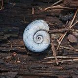 Wodny ślimaczek w spirail skorupie Fotografia Stock