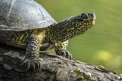 Wodny żółw zdjęcia royalty free