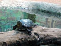Wodny żółw Obraz Stock