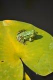 Wodny żaby obsiadanie na leluja ochraniaczu w świetle słonecznym Obrazy Royalty Free