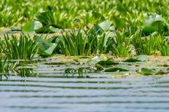 Wodny ananas i wodne leluje zdjęcia royalty free