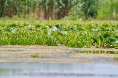 Wodny ananas i wodne leluje obraz stock
