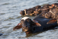 Wodny bizon Obrazy Royalty Free
