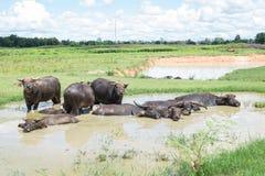 Wodny bizon Zdjęcia Royalty Free
