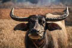 Wodny bizon chłodzi w słońcu, wędrówki Kalaw Inle jezioro, shanu stan, Myanmar Fotografia Royalty Free