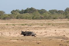 Wodny bizon i słoń obraz stock