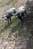 Wodny bizon na trawy polu Obraz Royalty Free