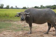 Wodny bizon w ryżu polu Zdjęcia Stock