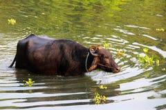 Wodny bizon wyłania się od wody Obrazy Stock