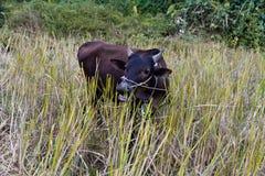 Wodny buffelo Laos Zdjęcie Stock