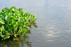Wodny hiacynt Zdjęcia Stock