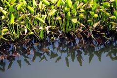 Wodny hiacynt zdjęcie stock