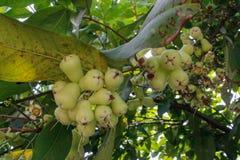 Wodny jabłko dojrzewa na gałąź drzewo zdjęcia royalty free