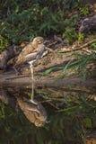 Wodny kolano w Kruger parku narodowym, Południowa Afryka Zdjęcia Royalty Free