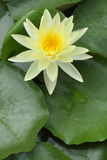wodny lelui kolor żółty Fotografia Royalty Free