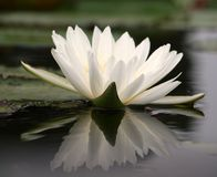 wodny leluja biel Zdjęcie Royalty Free