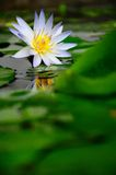 wodny leluja biel Fotografia Stock