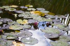 Wodny Lillies Fotografia Royalty Free