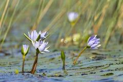 Wodny Lillies Kwitnie bagna Fotografia Stock