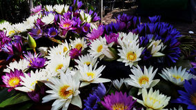 Wodny Lilys Fotografia Royalty Free