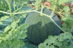 Wodny melon Zdjęcie Royalty Free