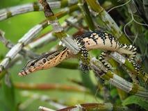 Wodny monitor, Varanus Salvator, monitor jaszczurka Na gałąź Zdjęcie Royalty Free
