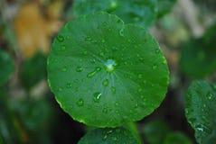 Wodny obwiśnięcie na zielonym liściu Obraz Stock