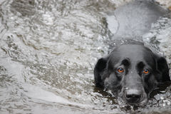 Wodny pies Fotografia Stock
