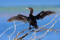 Wodny ptak z błękitne wody równą w tle Wodny ptak w natury siedlisku Ptak od Sri Lanka, Azja Mały czarny ptak Obraz Royalty Free