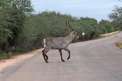 Wodny samiec drogi w Kruger parku narodowym skrzyżowanie Obraz Stock