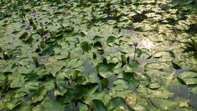 Wodnych leluj roślina Zdjęcia Stock
