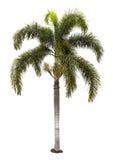 Wodyetia bifurcata被隔绝的棕榈树 库存照片