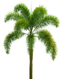 Wodyetia (Foxtail Palm). Palm tree isolated on white Royalty Free Stock Photos
