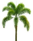 Wodyetia (paume de vulpin) blanc d'isolement de palmier photos libres de droits