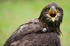 Woedende gouden adelaar Stock Afbeelding