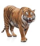 Woedende tijger stock afbeelding