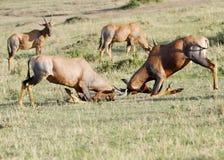 Woeste strijd tussen twee Topi-antilopen Stock Afbeelding