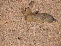 Woestijn Bunny Soaking omhoog de Zon in Rode Berg, Colorado Royalty-vrije Stock Afbeelding