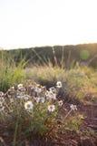 Woestijn Daisy Royalty-vrije Stock Foto's