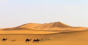 Woestijn met sommige kamelen Stock Foto