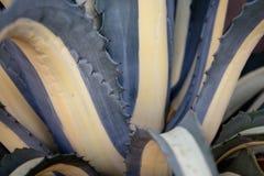 Woestijn Succulents van de Kalahari stock foto
