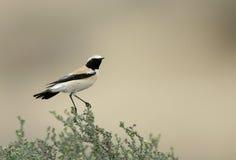 Woestijn Wheatear op struik wordt neergestreken die Stock Foto's