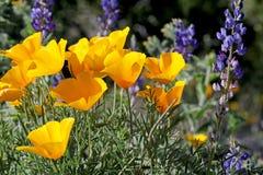 Woestijn Wilde Bloemen op een de Lentedag Stock Afbeelding