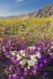 Woestijn wildflower. Stock Afbeeldingen